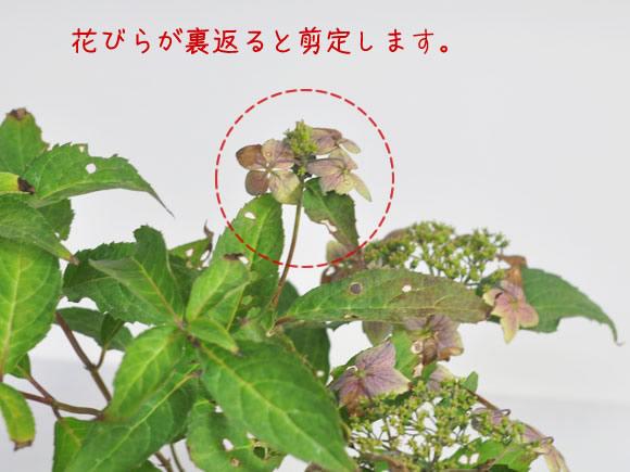 の 時期 紫陽花 剪定