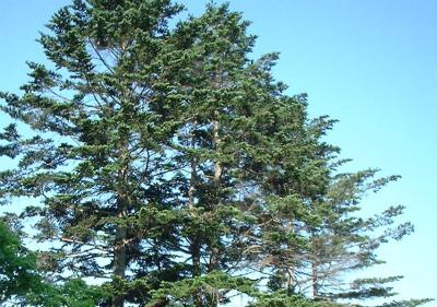北海道の盆栽