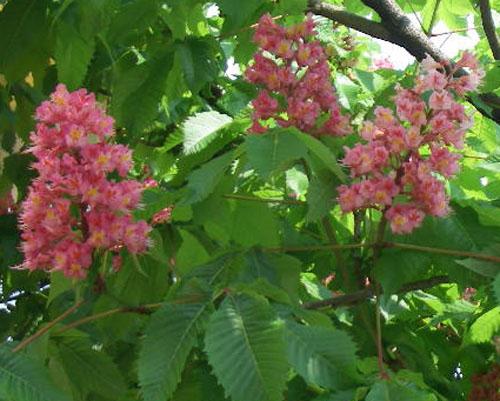 栃木の盆栽