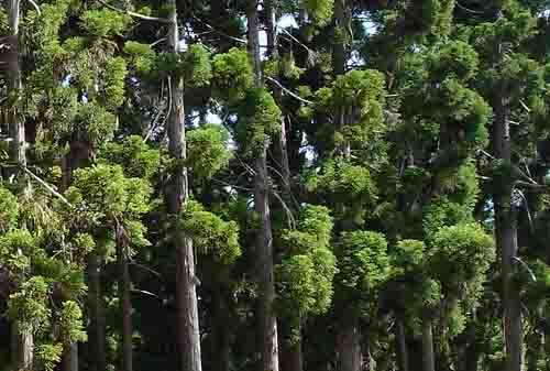 富山の盆栽
