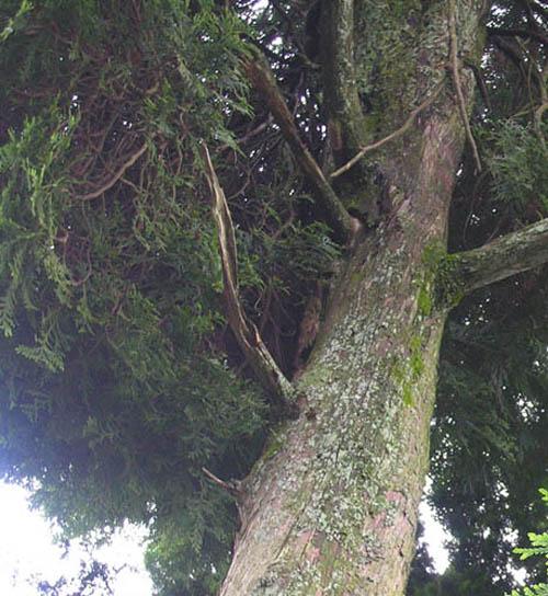 石川の盆栽