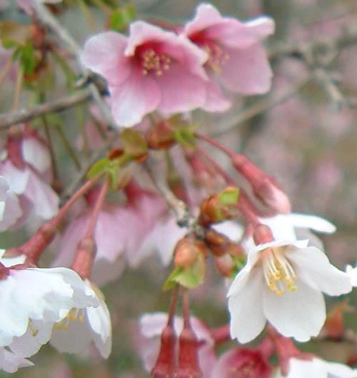 山梨の盆栽