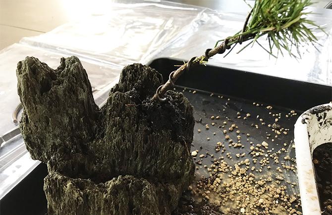 黒松の苗木に針金