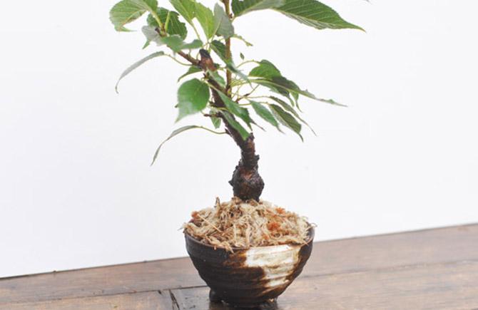 水苔を置いた盆栽