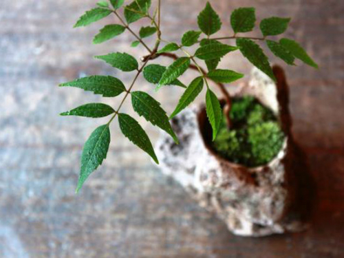 ハゼノキ(櫨の木)