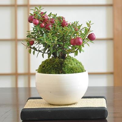 真珠の木盆栽の育て方 | 盆栽妙