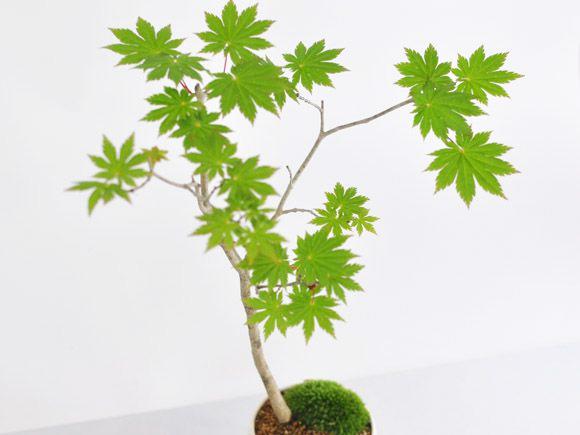 板屋名月(十二単衣) カエデの盆栽