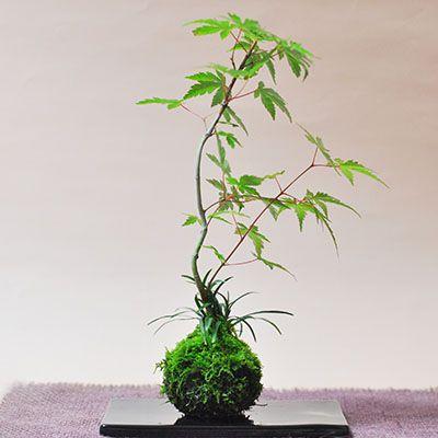 紅葉の苔玉