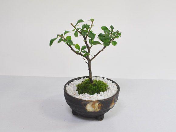 白花長寿梅 幼木