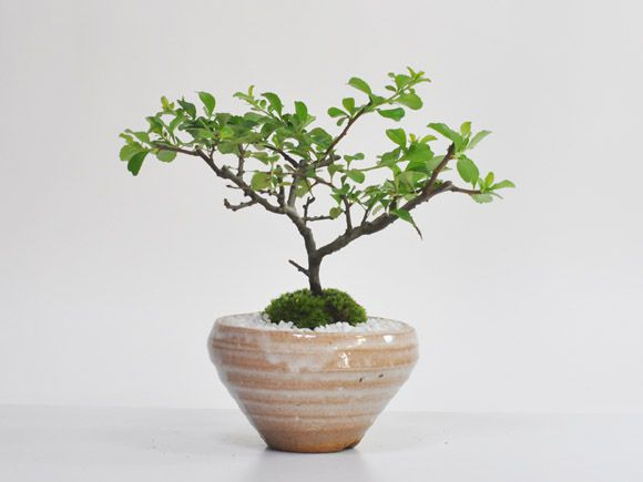 白花長寿梅 若木