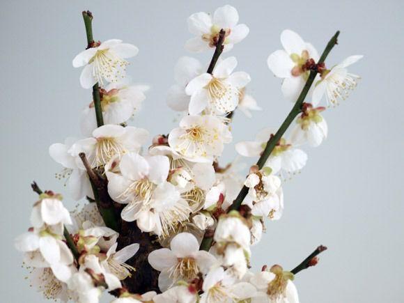 野梅 開花