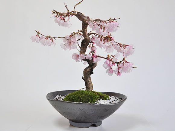 十月桜 真横