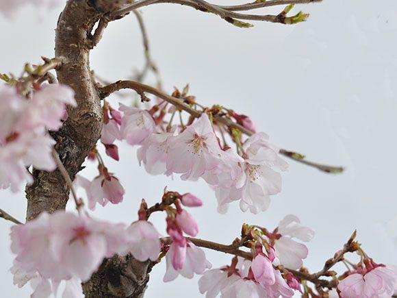 十月桜 花びらアップ