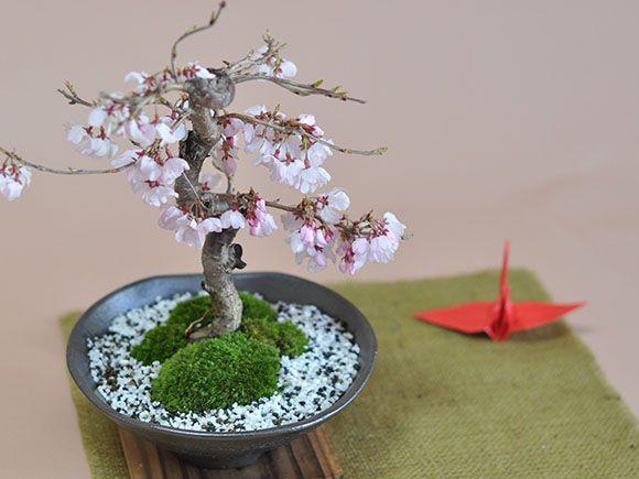 十月桜 鶴