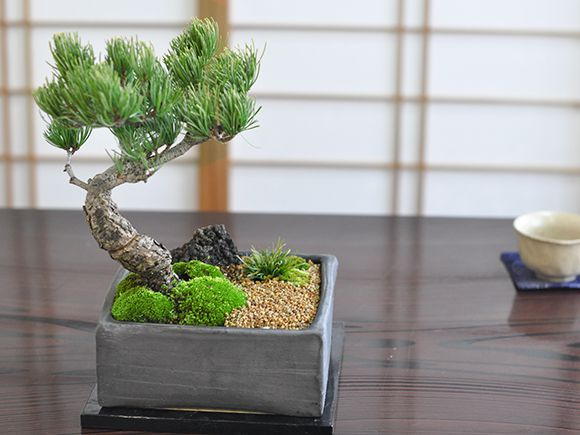 五葉松盆栽 正面白背景