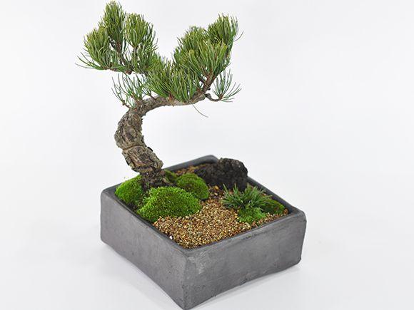 五葉松盆栽 松ぼっくりイメージ