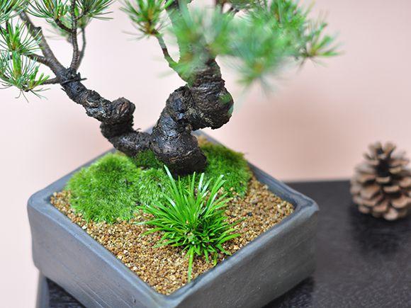 五葉松盆栽 木の幹周辺アップ