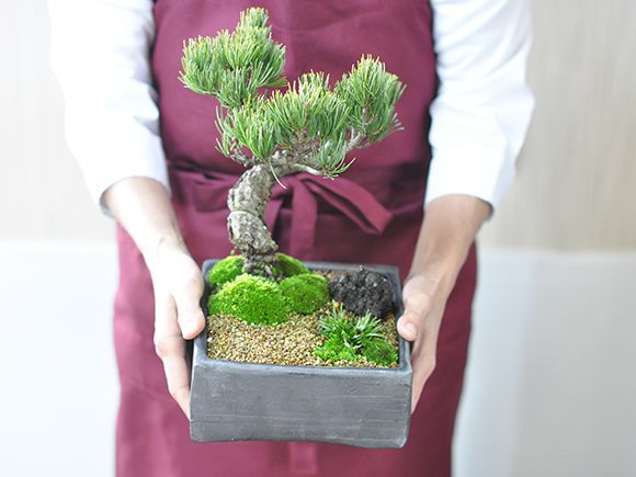 五葉松盆栽 手のひら比較