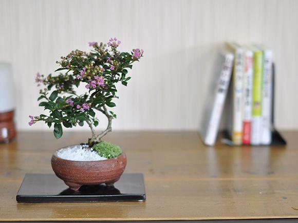 サルスベリ盆栽