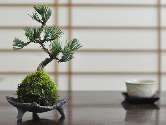 五葉松の苔玉