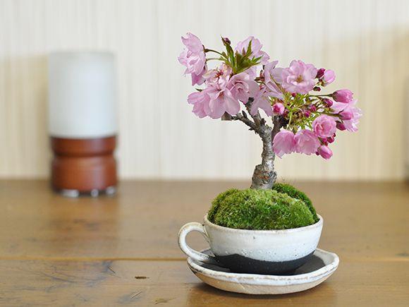 松と桜のペアセット