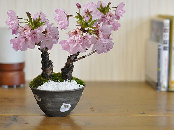 桜のミニ2本立ち