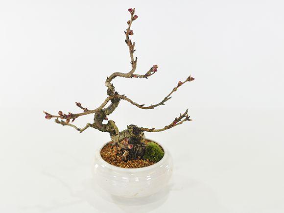 小品十月桜