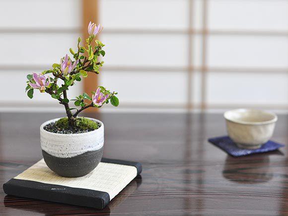 【母の日】睡蓮木の盆栽