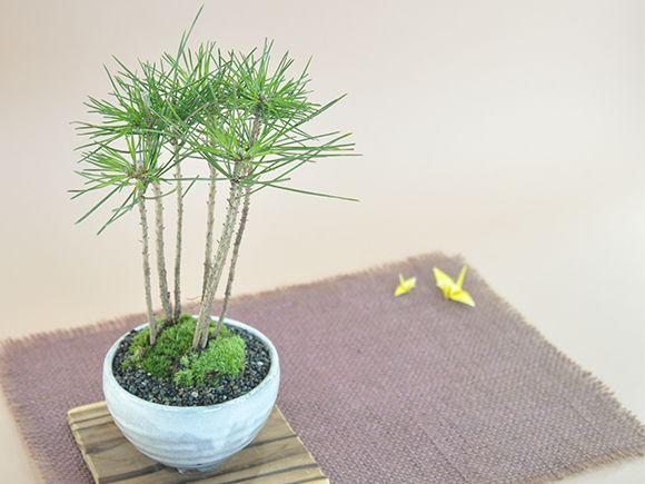 黒松の寄せ植え
