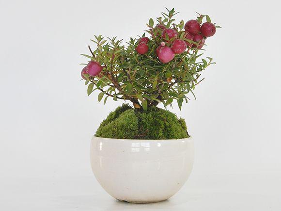 真珠の木(ペルネチア) 赤