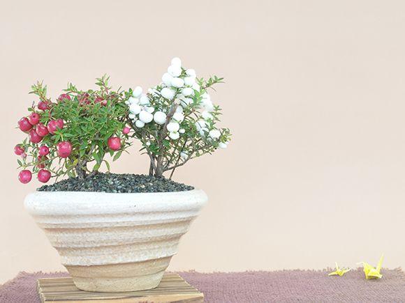 真珠の木(ペルネチア) 紅白