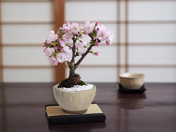 ミニ桜の信楽おわん鉢