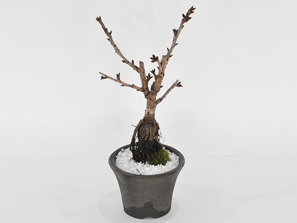 シックな桜のモダン盆栽