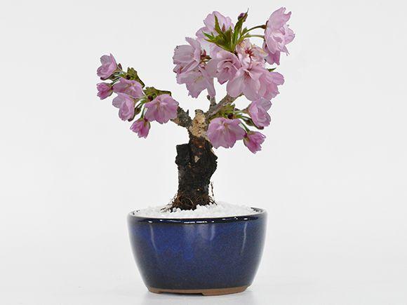 お試しのミニ桜