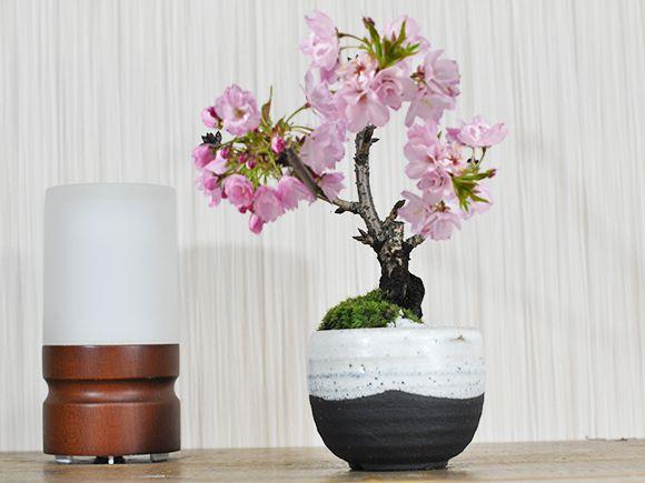 ミニ桜 いっぷく