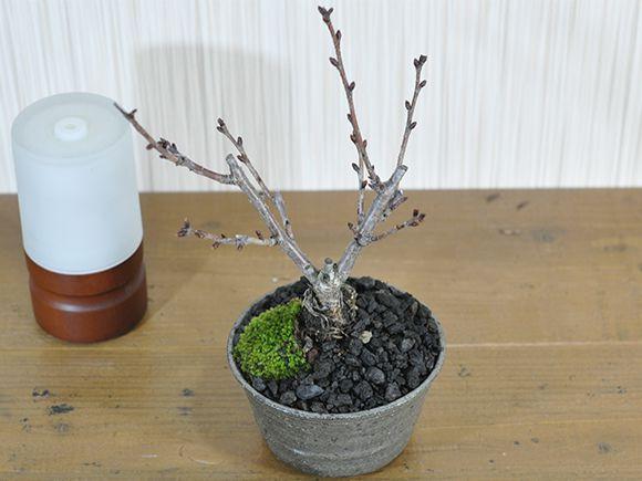 桜 風流な盆栽