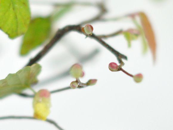 姫水木 縁起の良い花の咲く盆栽