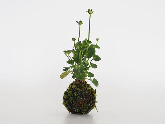神津梅鉢草