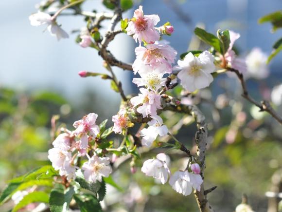 十月桜 生子信楽鉢