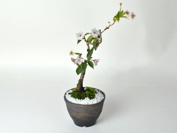 十月桜 金彩鉢