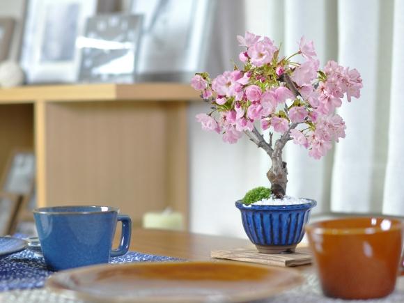 ミニ桜 旭山 万古焼 なまこ花型