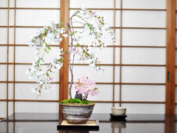 しだれ桜と1才桜の寄植え
