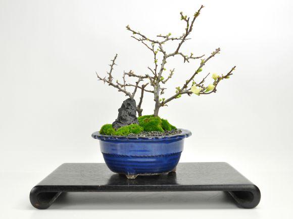 白長寿梅と赤長寿梅の寄植え