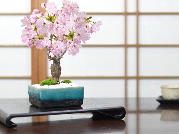 桜 モダン盆栽 ブルーガラス 4号 信楽焼作家鉢