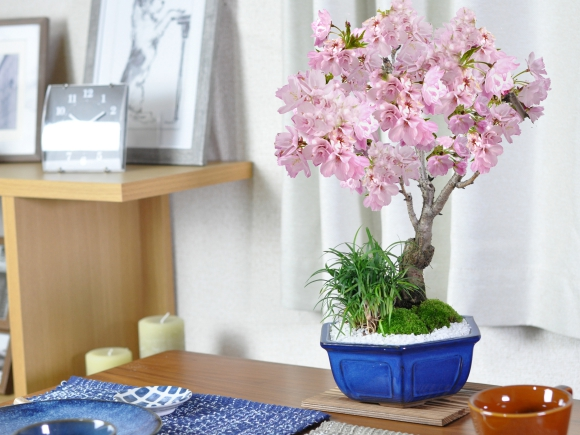 旭山桜 大 玉竜の寄植え 伝統的な六角盆栽鉢