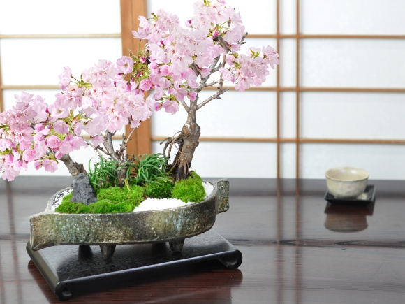 桜の豪華寄植え 落ち葉型 信楽焼鉢 12号