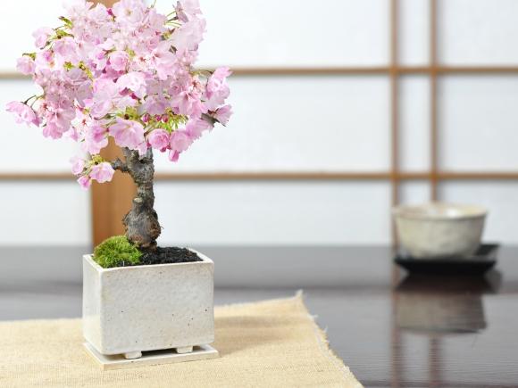 モダン盆栽 ミニ桜 シンプルライフシリーズ S