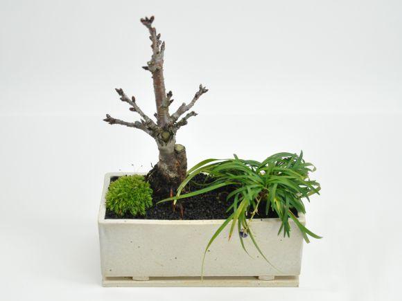 ミニ桜 玉竜 モダン寄植え 盆栽  シンプルライフシリーズ M
