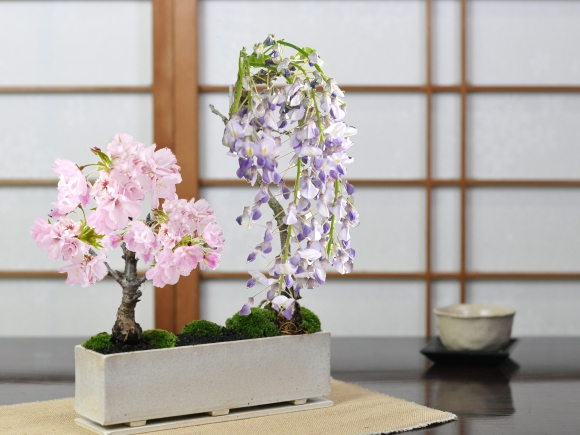 桜と藤の寄植え