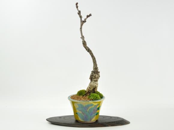 藤 中サイズ 九谷焼